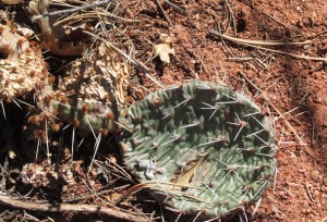 Cactus in Garden of the Gods