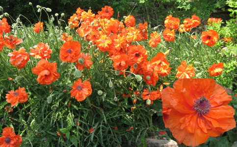 Poppies & Bees in my Ruxton Creek Garden