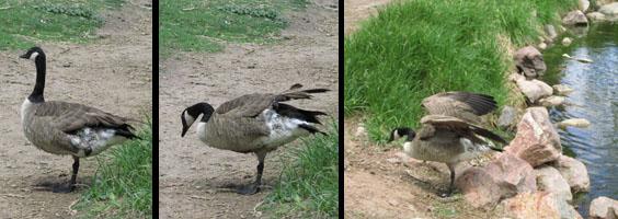 One Legged Goose in Colorado Springs