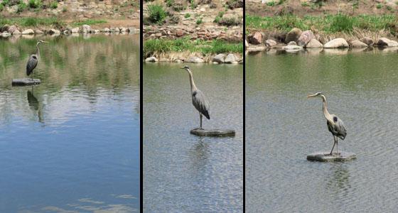 Poising Heron in Colorado Springs