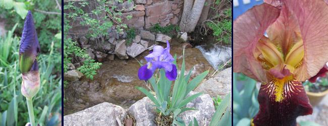 Iris in my Manitou Springs Garden