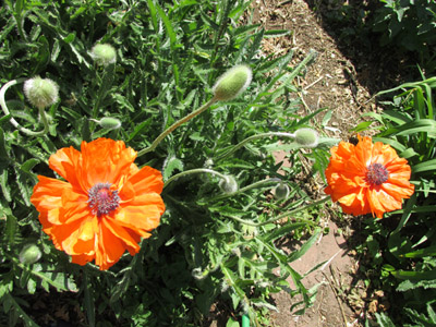 The first Poppies Bloomed