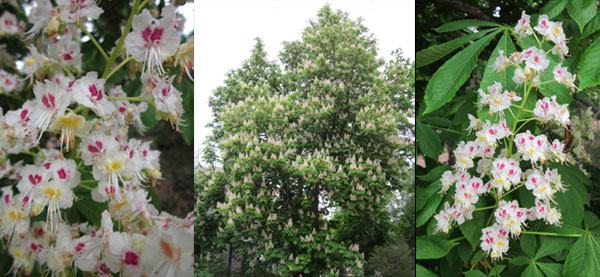 Horse Chestnut Tree at Sharing Inner Health