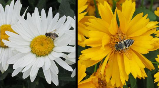 Bees at Young Living Lavender Farm in Utah