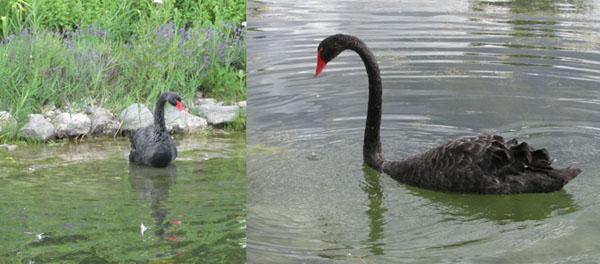 Black Swan at Young Living Lavender Farm in Utah