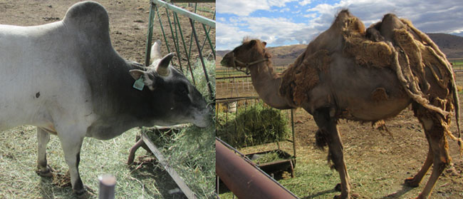 Camel and Brahma Bull at Young Living Lavender Farm