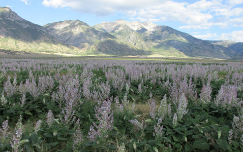 Field of Clary Sage  at Young Living Lavender Farm in Utah