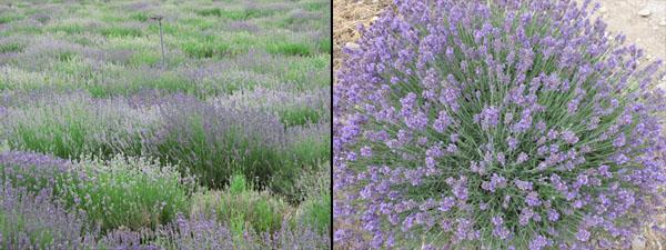 Lavender  at Young Living Lavender Farm in Utah