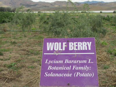 Wolfberry at the Young Living Lavender Farm