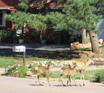 Doe & 2 spotted fawns at Fields Park in Manitou Springs