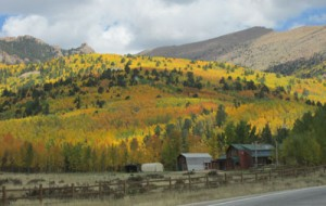 Aspens with barn in front