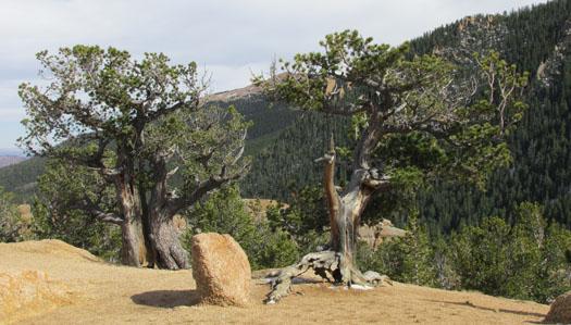 Cedar Trees at Crags