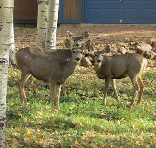 Deer near Catamount Trail