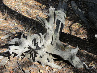 Driftwood on Catamount Trail