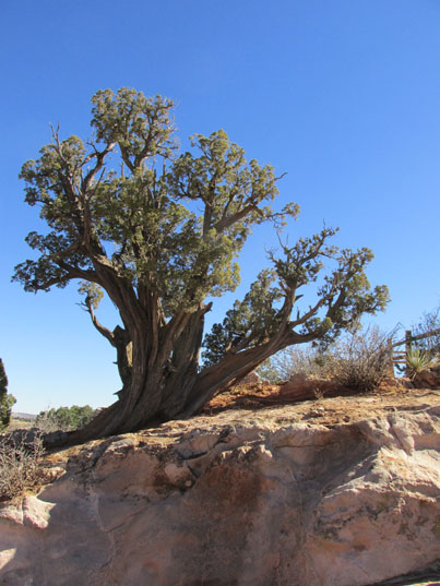 Ancient Cedar in the Garden of the Gods