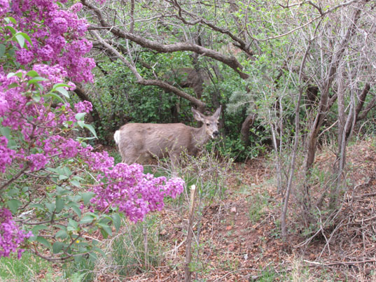Deer framed in Lilacs