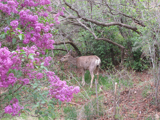 Deer munching Lilacs