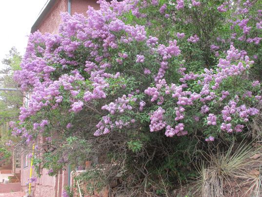 Beautiful Manitou Springs Lilacs