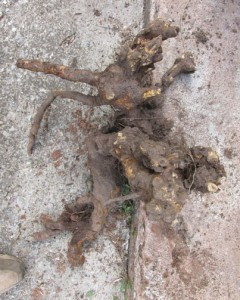 Dead Old Rose Root Star Wars character