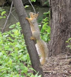 Mama Squirel Climbing a Tree