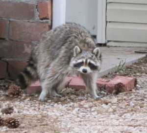 Raccoon on Guard in Manitou Springs
