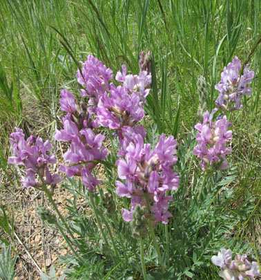 Lovell Gulch Purple Flowers